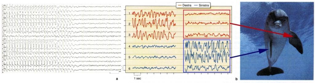 comparación electroencefalograma normal de un mamífero terrestre y delfín, cómo duermen los delfines