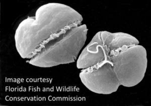 alga microscópica Karenia brevis, mareas rojas