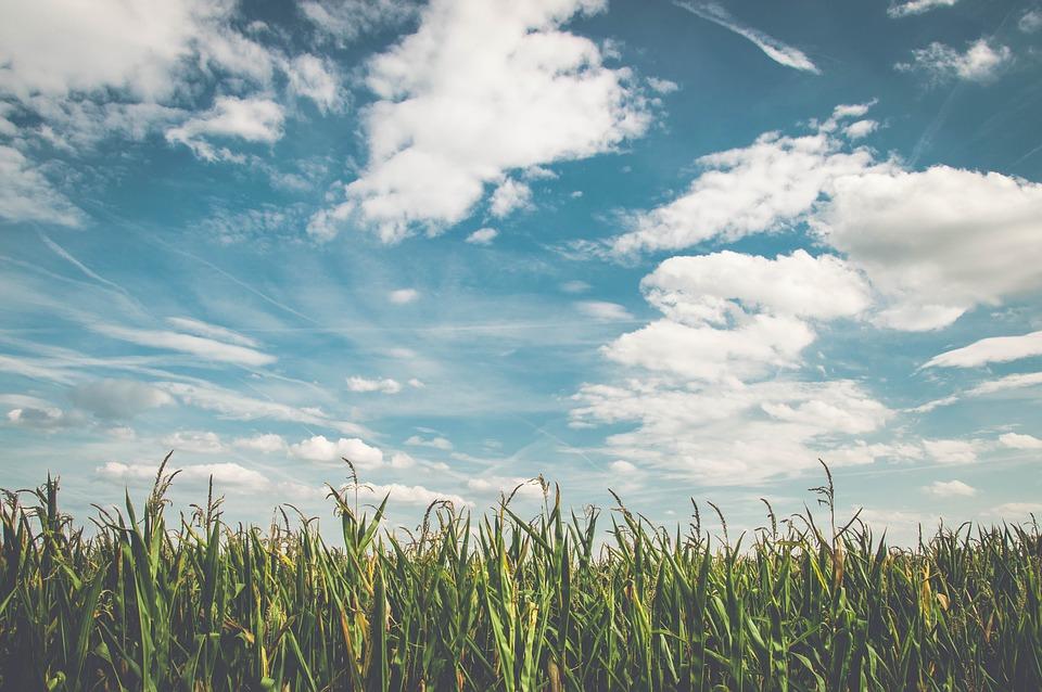 El cultivo del maíz y sus consecuencias