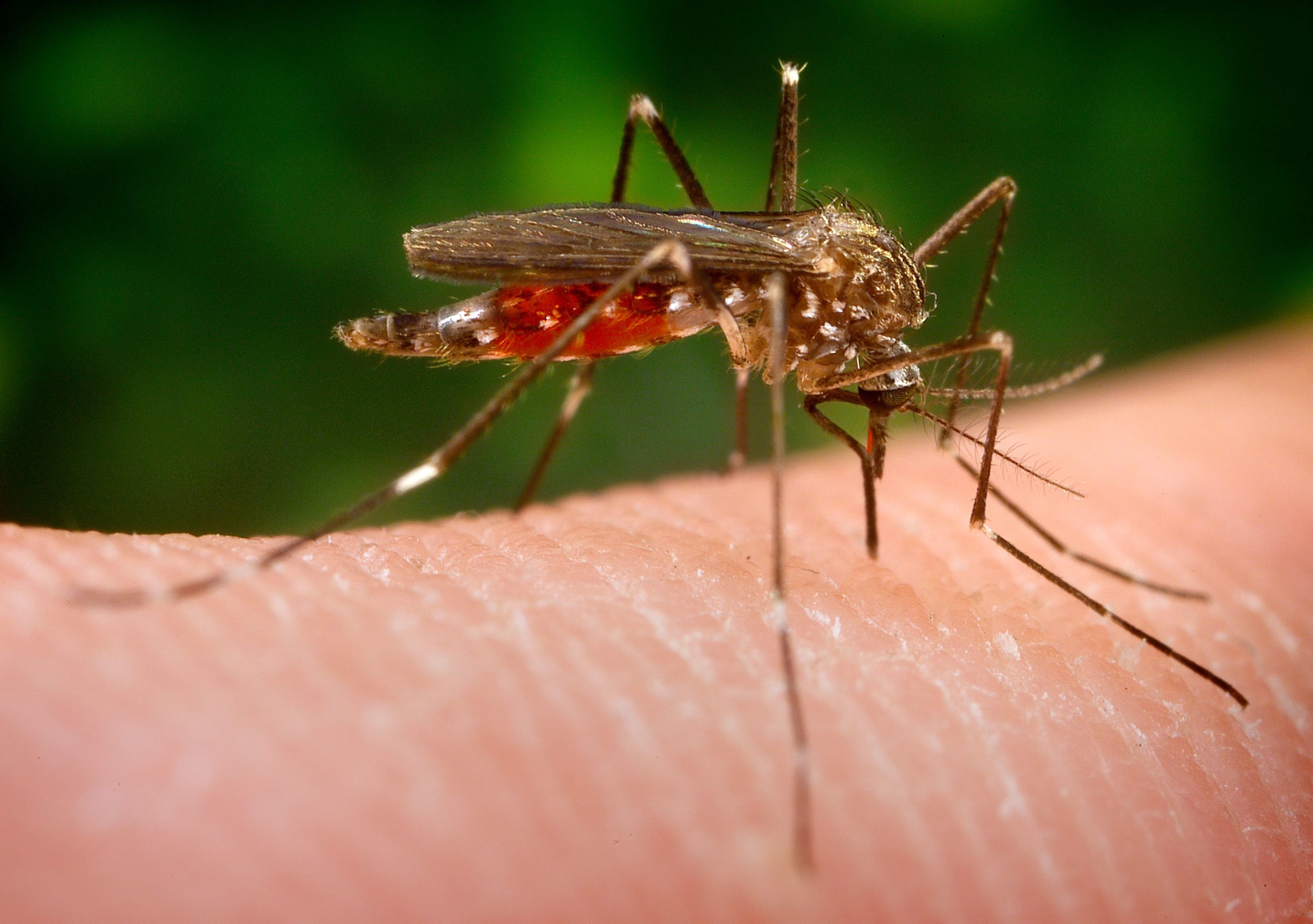 Una nueva especie de mosquito llega a España: ¿es tan peligrosa como dicen?