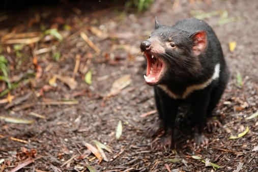 El demonio de Tasmania y su retorno a Australia